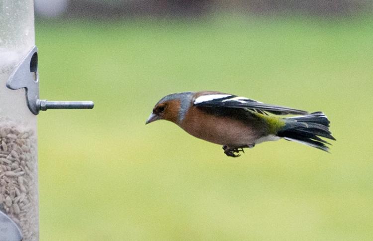 horizontal chaffinch