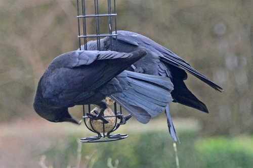 jackdaws on feeder