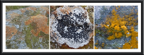 lichen and algae