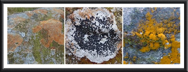 lichen and algae
