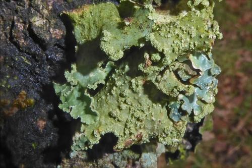 lichen on tree castleholm 1