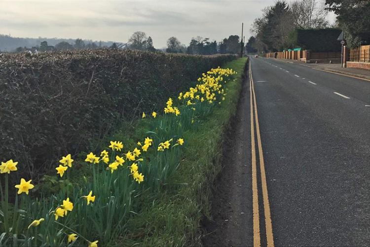 Mike daffodils