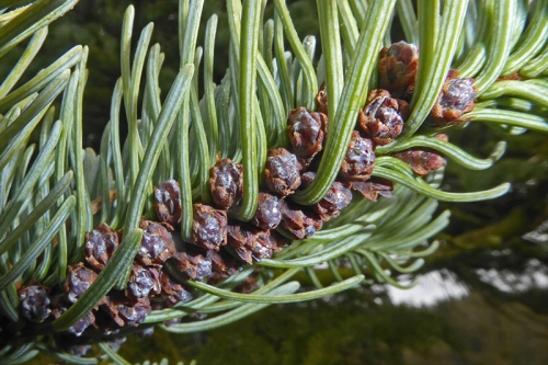 noble fir flowers