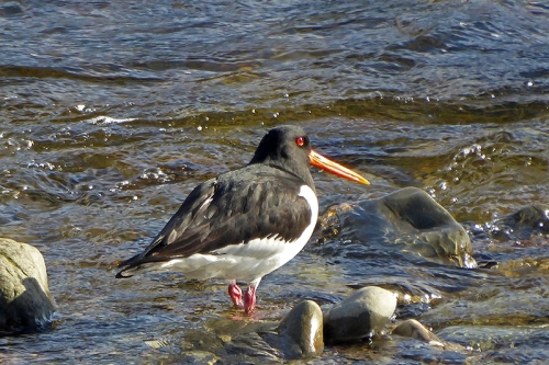oyster catcher in sun