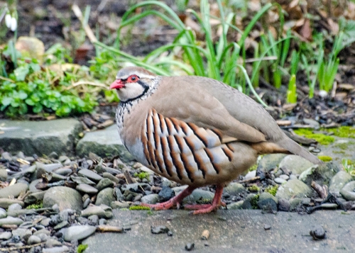 partridge in garden