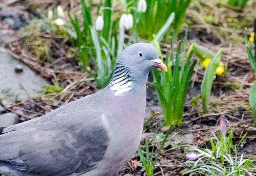 pigeon under the feeder