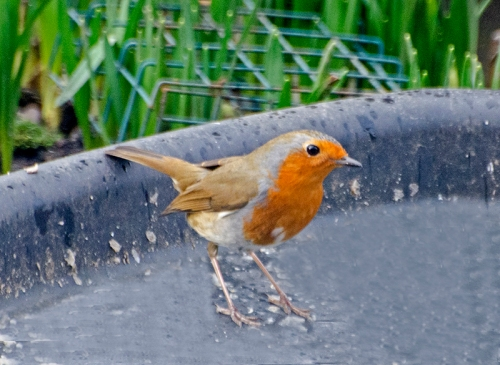robin in tray