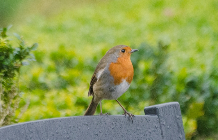 robin on back of chair