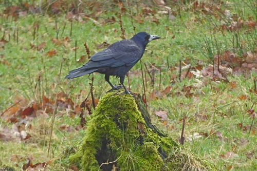 rook on tree stump
