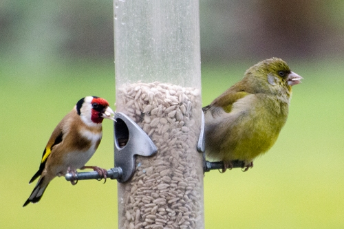 seated goldfinch and plump greenfinch