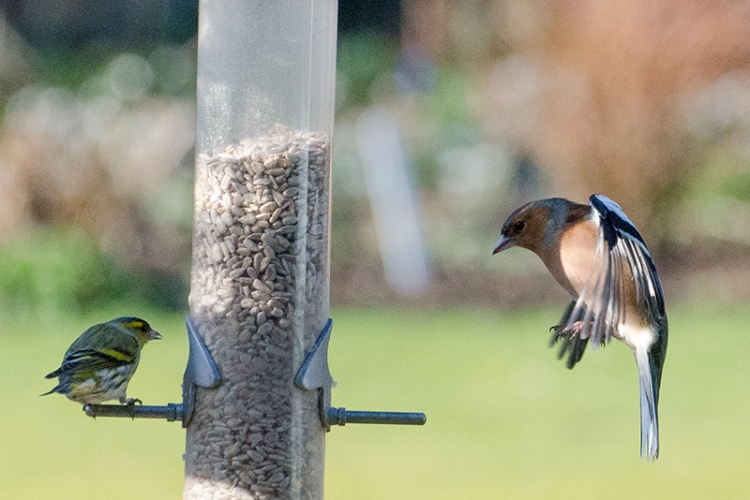 siskin and chaffinch 2