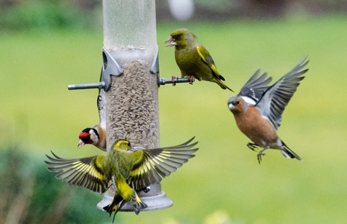 siskin and chaffinch at feeder
