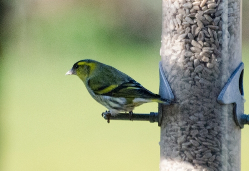 siskin in shade