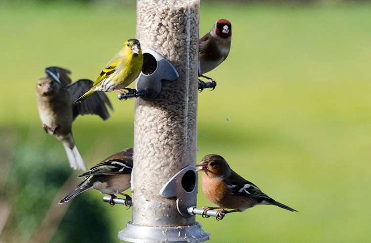 siskin on feeder
