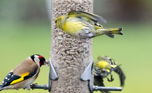 siskin sneaking past feeder