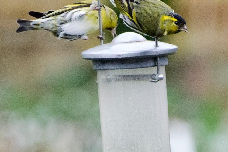 siskins on top of feeder