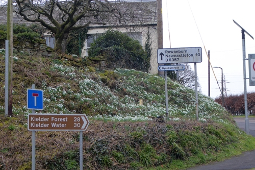 snowdrops and road signs