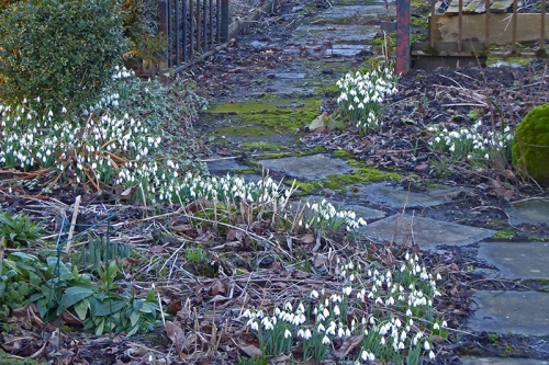 snowdrops by path