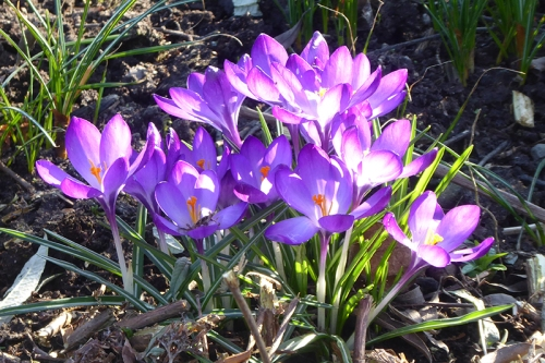 sunny crocus clump