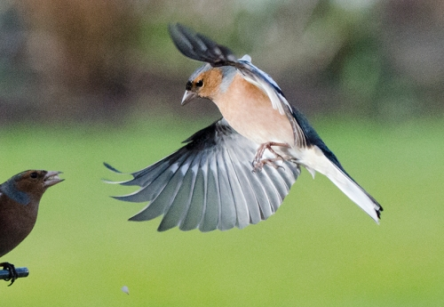 supervising chaffinch 1