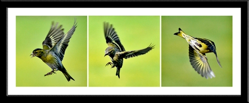 three flying siskins