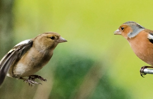 two chaffinches eyeing