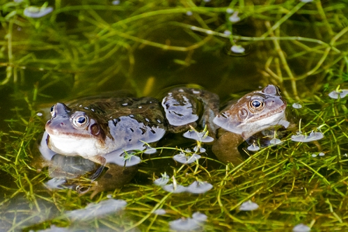 two frogs in pond