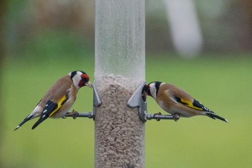 two goldfinches sunday