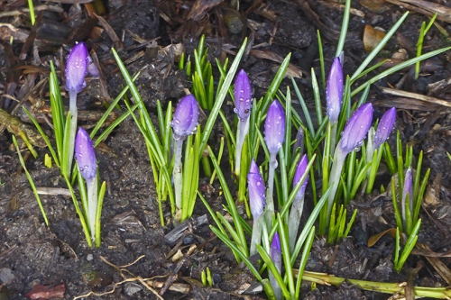 wet crocus buds