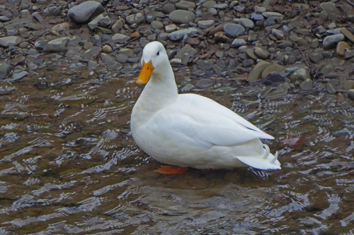 white duck in wauchope