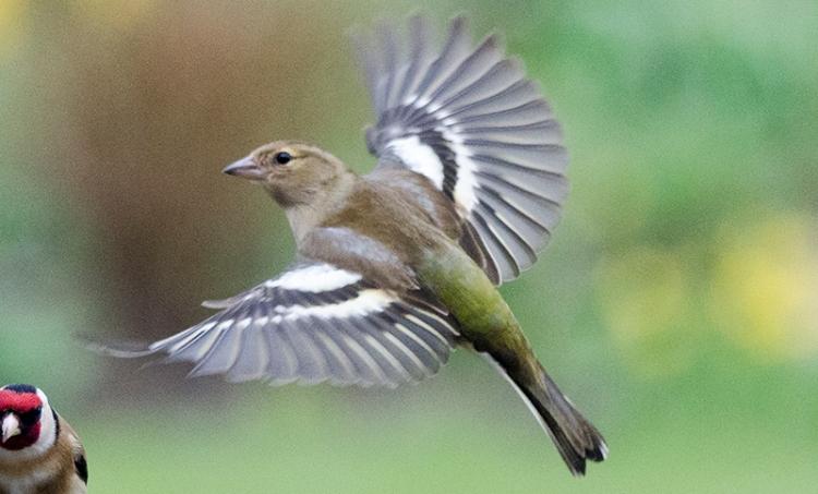 angelic chaffinch