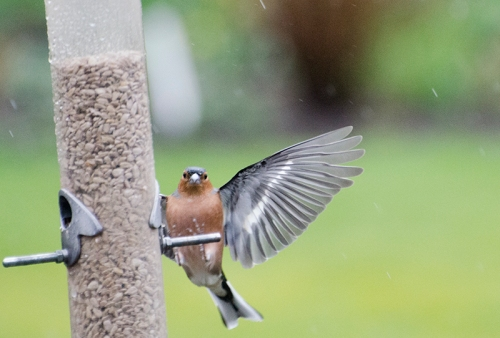 awkward landing for chaffinch