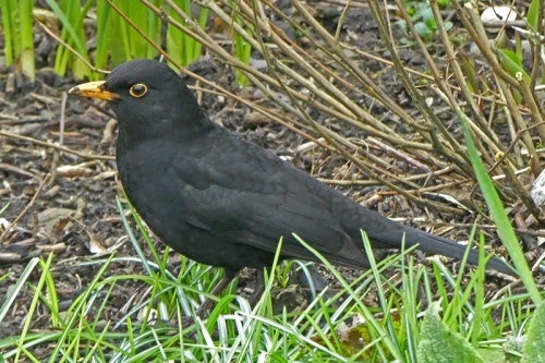 blackbird in flower bed