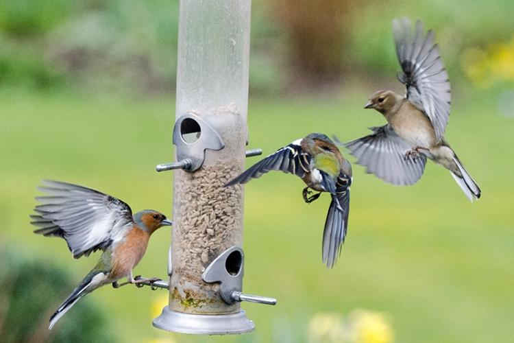 busy feeder chaffinches