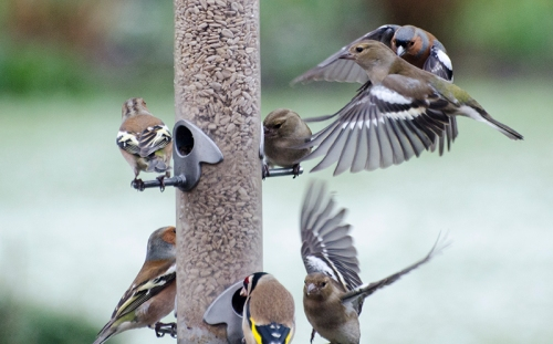 busy feeder chaffinches
