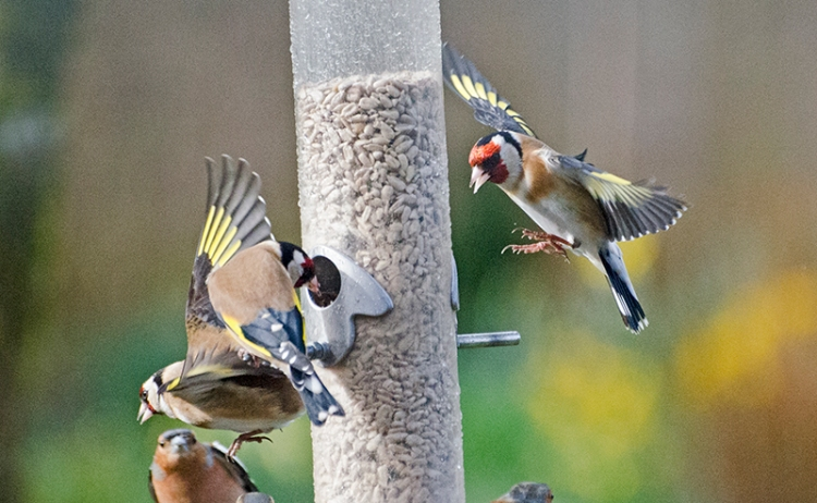 busy goldfinches