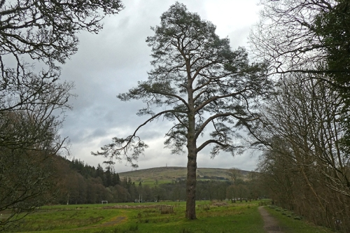 Castleholm pine tree