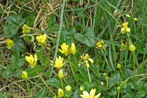 celandine beside old A7