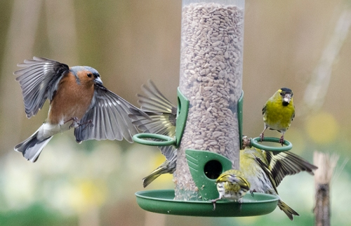 chaffinch and many siskins
