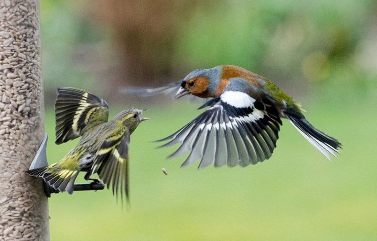 chaffinch and siskin arguing
