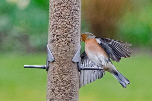 chaffinch checking