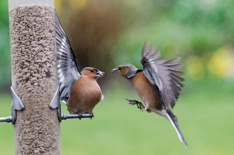 chaffinch holding hands up
