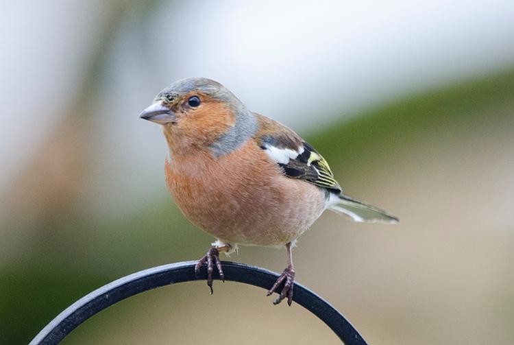 chaffinch on feeder pole