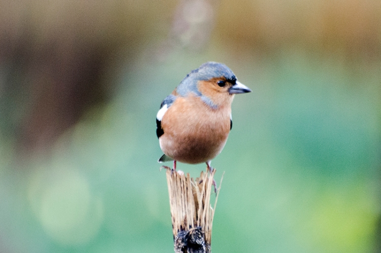chaffinch on the stalk