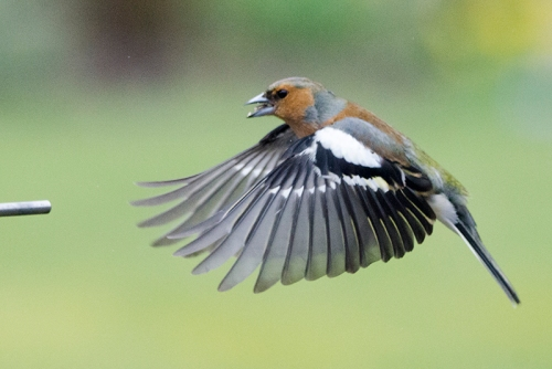 chaffinch shouting at perch