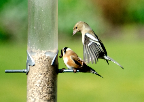 chaffinch stamping goldfinch