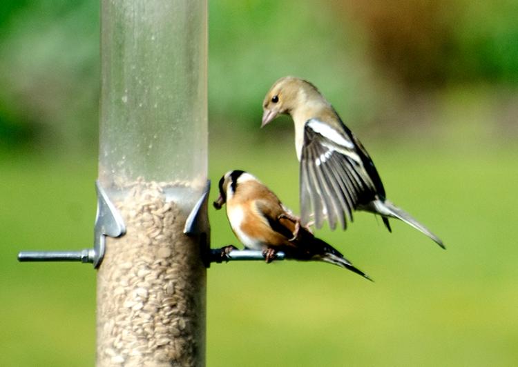 chaffinch stamping goldfinch