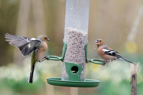 chaffinch surprised