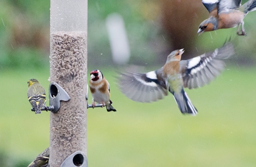 chaffinches squabble