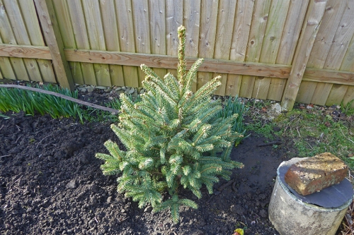 christmas tree planted out 2019